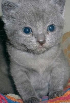 A Donner 04 Chatons Pure Race Chartreux A Donner